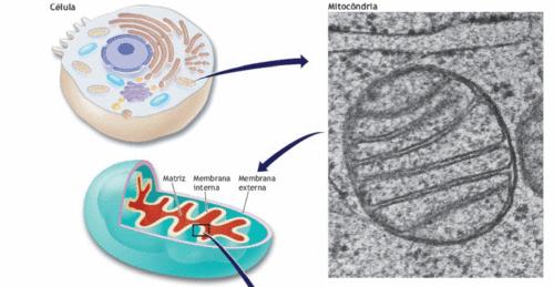 Biogênese Mitocondrial | Como é?